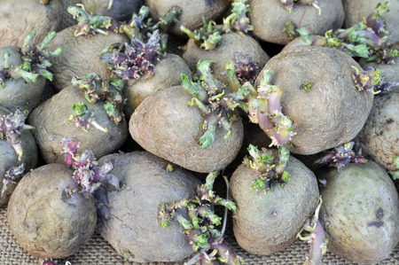 germinating: prepared germinating potatoes before the planting