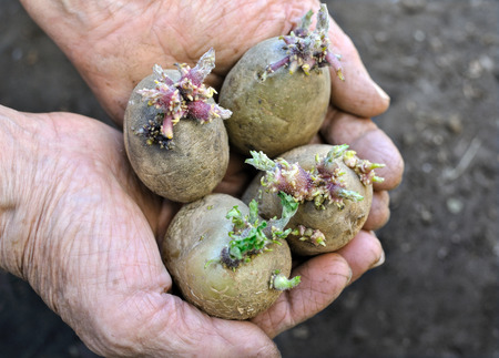 close-up of  germinating potatoes in the farmer hands Banque d'images