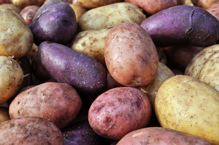 kinds: close-up of the different potatoes after harvesting