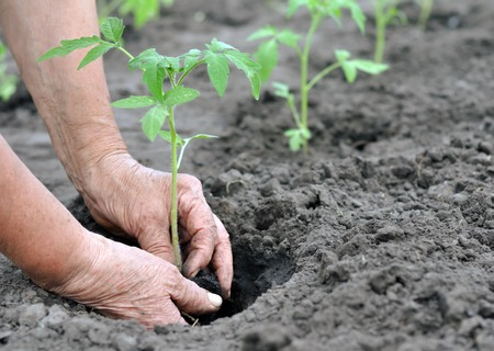 humus: farmer planting a tomato seedling in the vegetable garden Stock Photo