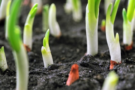 close-up of the onion plantation in the vegetable garden Stock Photo