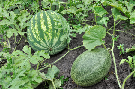 close-up of the ripening watermelon and melon in the vegetable garden 스톡 콘텐츠