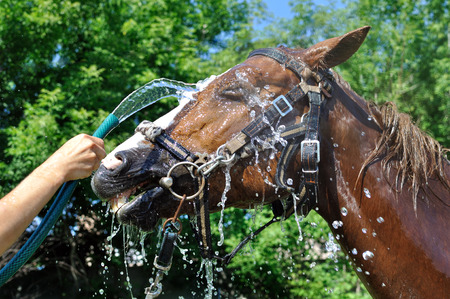 cooled: satisfied happy horse cooled by water in hot weather  in series, 2 of 4 Stock Photo
