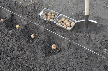 potato field: process of planting potato field in the vegetable garden