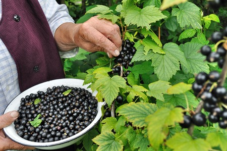 black currant: Senior woman picking black currant in the garden Stock Photo