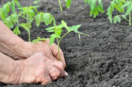seedling: farmer planting a tomato seedling in the vegetable garden Stock Photo