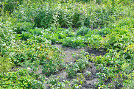 vegetable garden: organically cultivated various vegetables in the vegetable garden