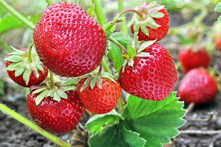 close-up of the ripe strawberry in the  garden Stock Photo