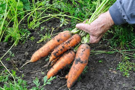 harvested: farmer hold freshly harvested ripe carrots in the vegetable garden Stock Photo