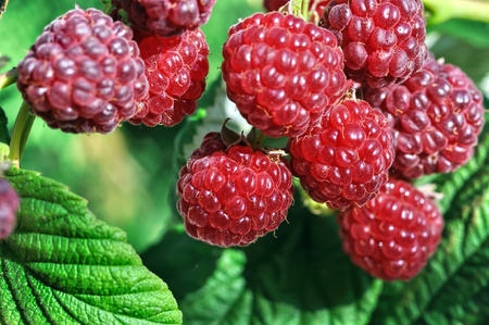 close-up of ripe raspberry in the garden Stock Photo