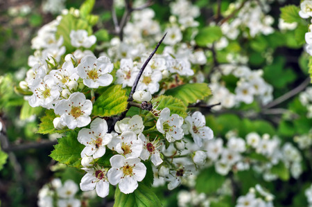 trees with thorns: close-up of  blooming hawthorn tree branch