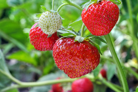 strawberry: close-up of the ripe strawberry in the  garden Stock Photo