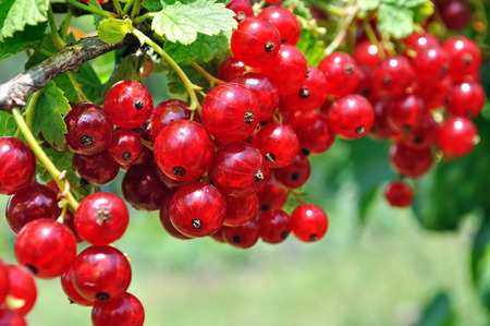 red currant: close-up of a  red currant in the fruit garden Stock Photo
