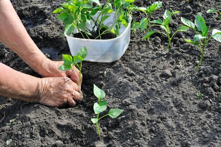 field work: farmer planting a pepper seedling in the vegetable garden