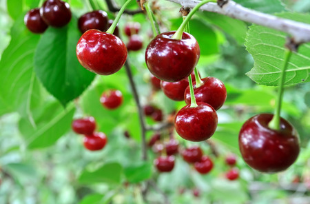 close-up of ripe sweet cherries on a tree in the garden