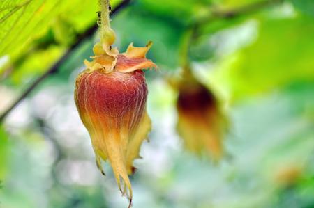 hazelnut tree: close-up of hazelnut on filbert tree branch