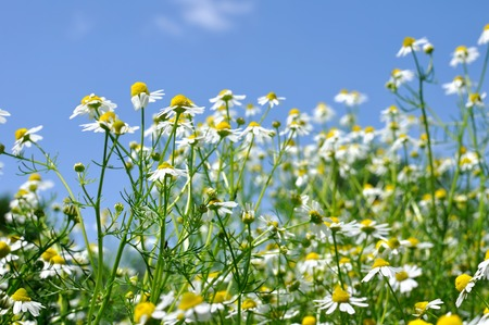 chamomilla: closeup of blooming camomile Matricaria chamomilla - homeopathic flowers