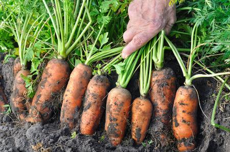 manos sucias: farmer harvesting fresh organic carrots in the field