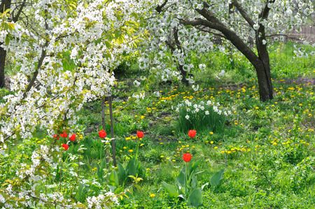 foreground focus: blooming cherry trees in the springtime,focus on foreground Stock Photo