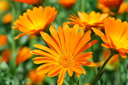 champs de fleurs: closeup of a medical  marigold flowers in the meadow Banque d'images