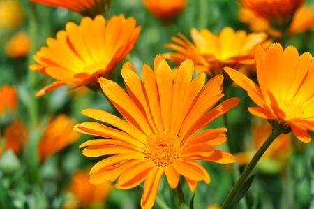 campo de flores: primer plano de un médico flores de caléndula en la pradera