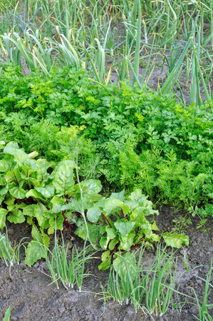 organically: organically cultivated various vegetables in the vegetable garden