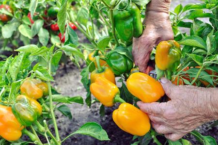 harvests: farmer harvests ripe peppers in the vegetable garden