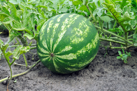 close-up of the ripening watermelon in the vegetable garden