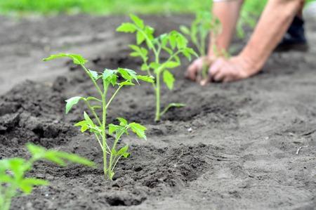 tomates: plántulas de tomate recién plantados en el huerto, enfoque selectivo en primer plano Foto de archivo