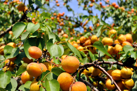 crop harvest: close-up of the ripe apricots in the orchard Stock Photo