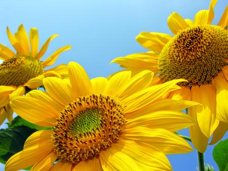 close-up van bloeiende zonnebloemen op blauwe hemel achtergrond