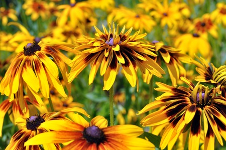 hirta: closeup of blooming Rudbeckia Hirta or Black-Eyed Susan Stock Photo