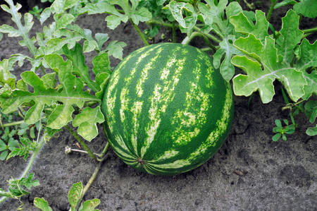ripening: close-up of the ripening watermelon in the vegetable garden