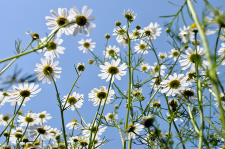 closeup of blooming camomile (Matricaria chamomilla) - homeopathic flowers, low angle view,backlit Stock Photo