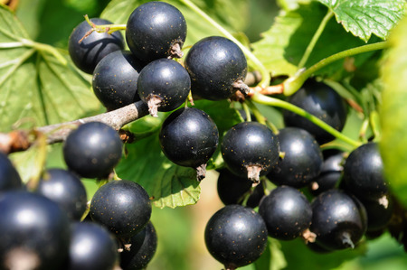 black currant: close-up of a  black currant in the garden Stock Photo