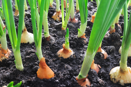 close-up of onion plantation in the vegetable garden Stock Photo - 56469289
