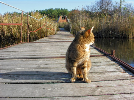 ponton: red lonely cat sitting on the old wooden ponton bridge in sunny day