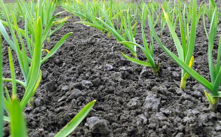 organically: organically cultivated garlic plantation in the vegetable garden