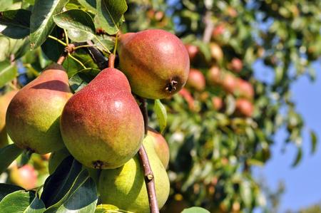 arboles frutales: peras maduras en un árbol en el huerto