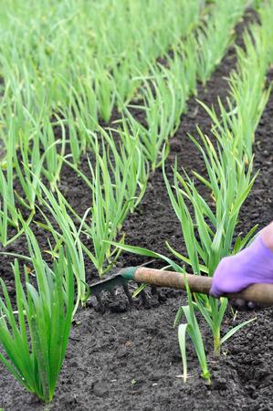 garlic: raking of garlic plantation - seasonal work in the vegetable garden Stock Photo