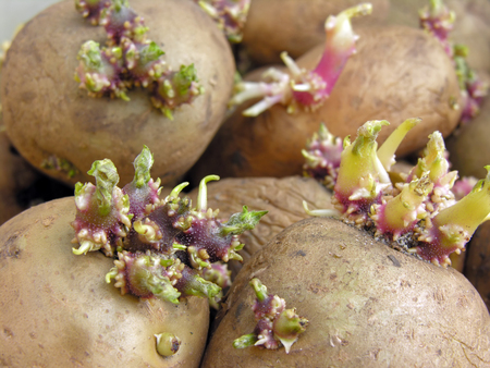germinating: close-up of germinating potatoes before the planting in the vegetable garden