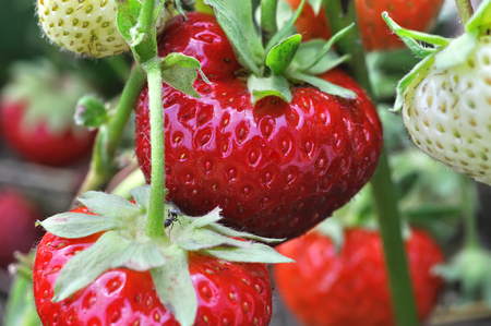 ripening: close-up of ripening strawberry in the vegetable garden