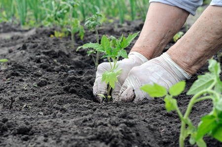 farmer planting a tomato seedling in the vegetable garden Stock Photo