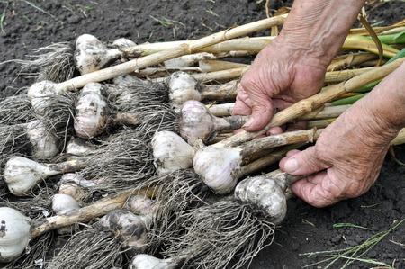 horticulture: harvesting garlic plantation in the vegetable garden