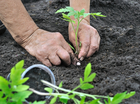 farmer planting a tomato seedling in the vegetable garden Banque d'images