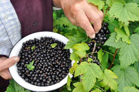 farmer picking black currant in the garden