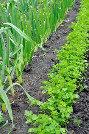 organically cultivated garlic and parsley in the vegetable garden