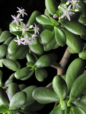 crassula ovata: Crassula ovata with flowers, known also as jade plant or money tree, selective focus, on black background Stock Photo