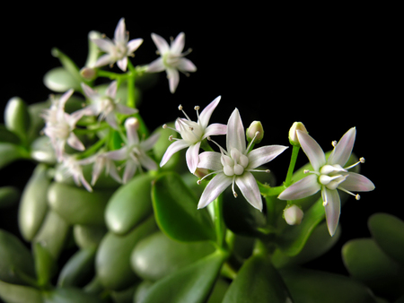 crassula ovata: Crassula ovata with flowers, known also as jade plant or money tree, friendship tree, lucky plant, on black background Stock Photo
