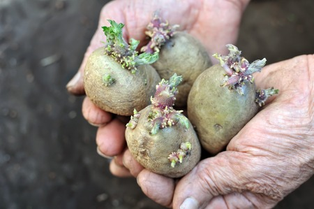 Close-up of germinating potatoes in the gardener hands before the planting